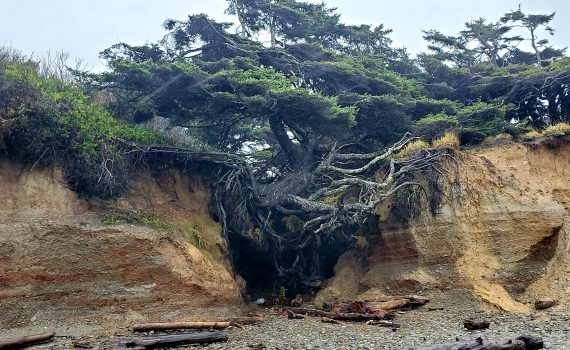 Tree of Life at Kalaloch